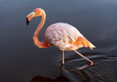 flamingo-flm